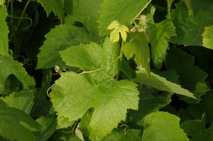 Viniseera szőlőmag termékek
